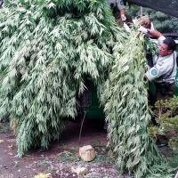 CHIMBARONGO: DETIENEN A MUJER CON 65 PLANTAS DE MARIHUANA